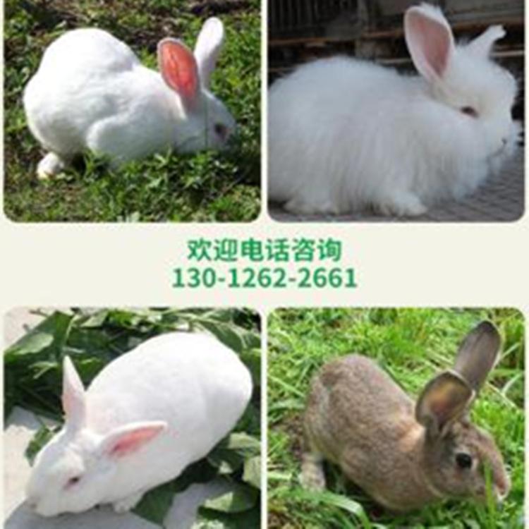 安徽獭兔种兔养殖场价格
