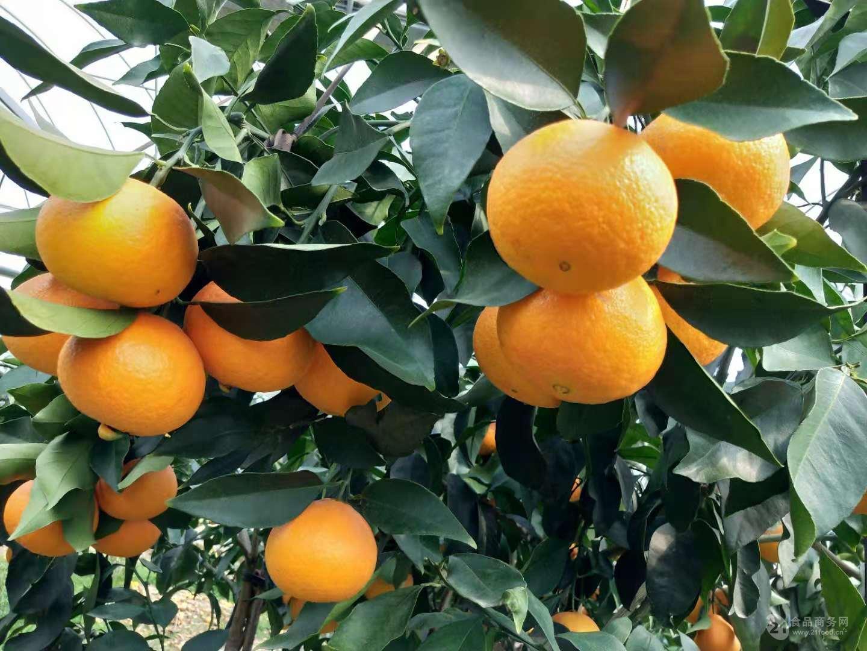 红美人爱媛28号橘子