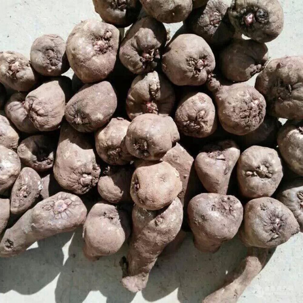 哪里有性爱种子_四川魔芋种子批发销售 抗病性强