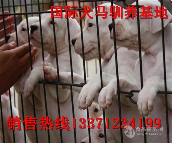 河南虞城哪里有卖杜高犬的 杜高幼犬怎么卖的