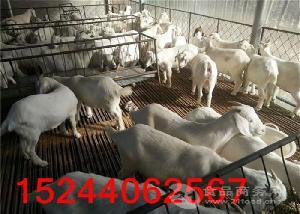 山东羊苗养殖场