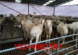 甘肃哪里出售小尾寒羊