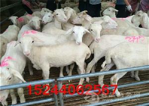 云南哪里出售小尾寒羊