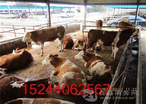 山东牛基地牛犊价格