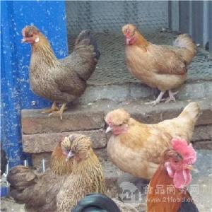 元宝鸡自己孵化小鸡苗吗 元宝鸡吃什么容易下蛋