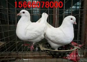 元宝鸽养殖技术