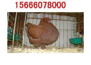元宝鸽养殖价格行情