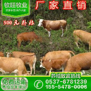 广东哪里有鲁西黄牛苗卖