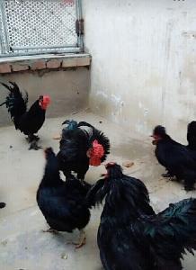 白色元宝鸡.黑色元宝鸡 元宝鸡养殖