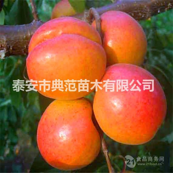 丰园红杏树苗基地 丰园红杏树苗批发