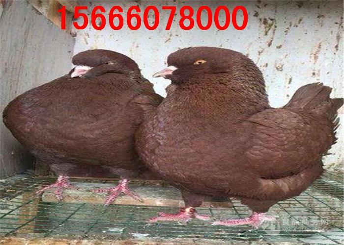 新疆有没有元宝鸽卖