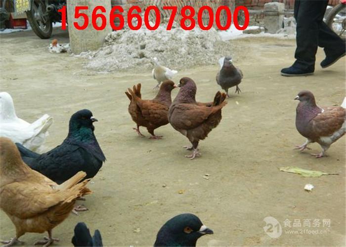 广东有没有元宝鸽卖