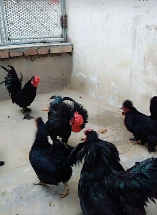 什么色的元宝鸡颜色鲜艳 元宝鸡观赏精品