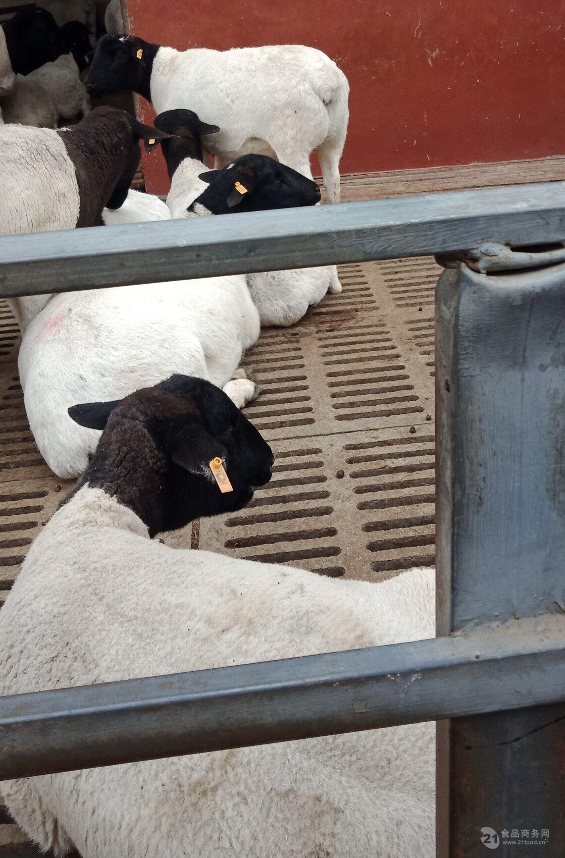 黑头杜泊多胎羊·杜泊羊价格