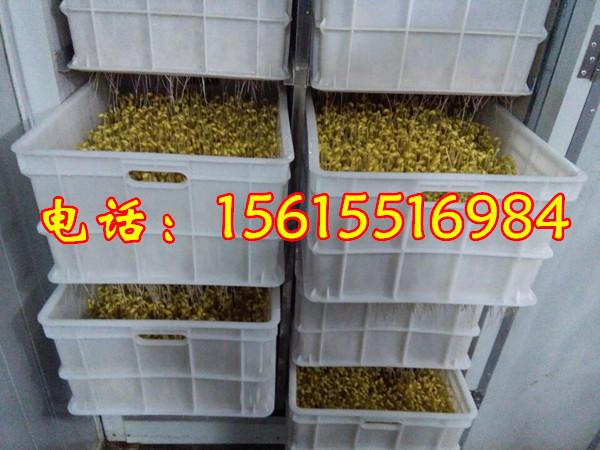 安徽大型豆芽机k频道厂家,全自動豆芽機多少钱一台