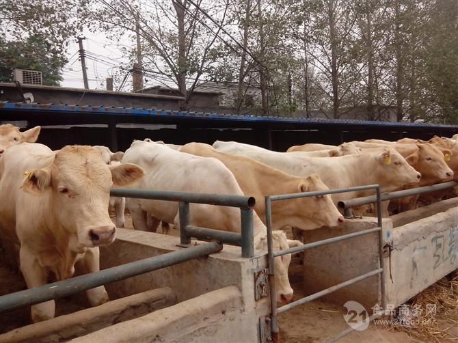 9个月母牛犊多少钱 400-500斤牛犊现在价格
