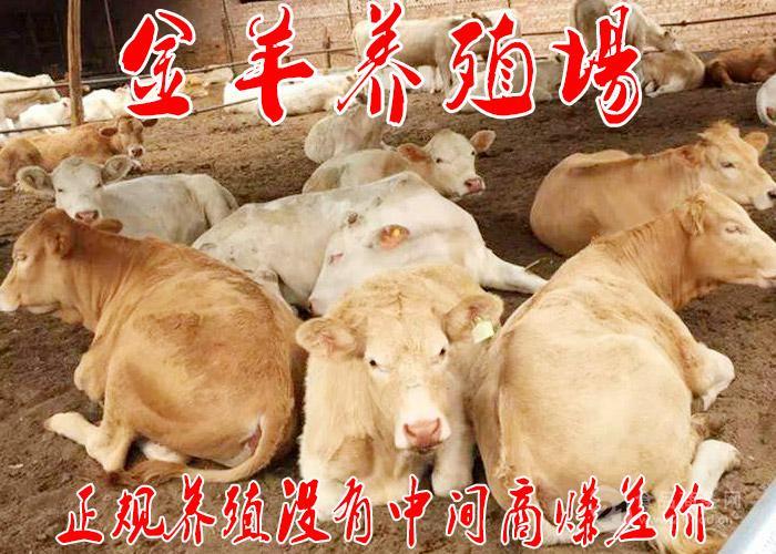 300斤小黄牛