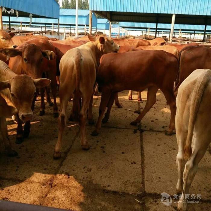 400斤小牛犊价格 400斤左右小牛犊