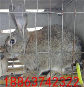 杂交野兔种兔活体