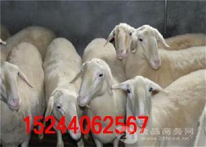 中国哪里出售湖羊