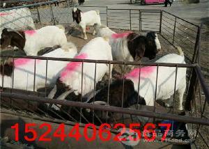 附近卖小羊苗价格