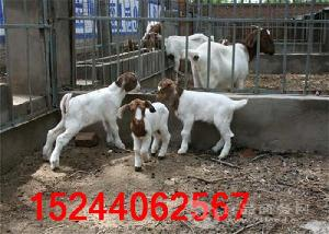 附近卖小羊羔价格