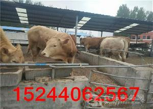 山东肉牛种牛价位