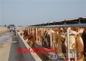 周边哪种种牛品种大