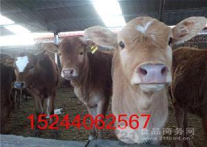 山东肉牛母牛到哪里买