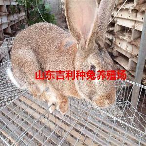 大肉兔种兔养殖场
