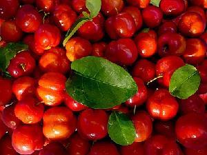 针叶樱桃果粉