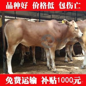 西门塔尔母牛什么价格
