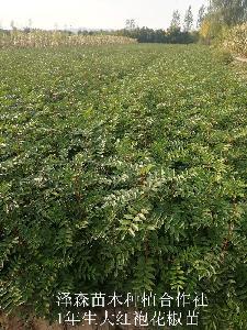 花椒苗~花椒苗种植格~1米花椒苗