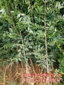 山西大红袍花椒苗种植示范园+大红袍花椒苗大量供应价格