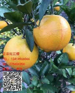 正宗红江橙苗价格,13414966066