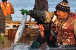 野生大马哈鱼籽价格,大马哈鱼籽多少钱一斤