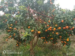 基地直供金秋砂糖橘苗,产量大,存活率高