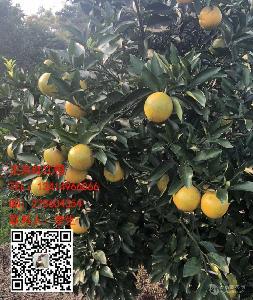 红江橙价格|13414966066李生