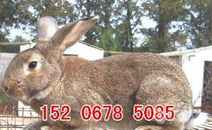 河北肉兔種兔養殖場