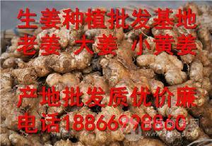 山東鮮姜、老姜、面姜、小黃姜批發價格