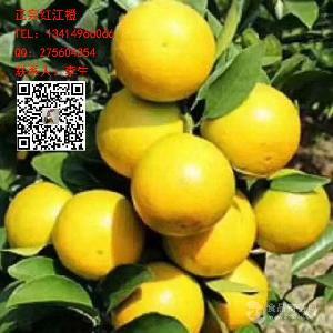 紅江橙,正宗廉江紅橙苗育種基地,電話咨詢:13414966066