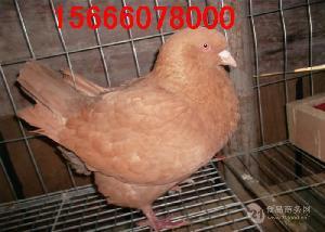附近哪里有卖元宝鸽的