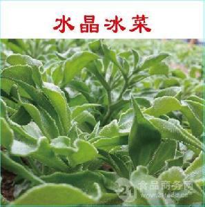 保健蔬菜 非洲冰草种子批发