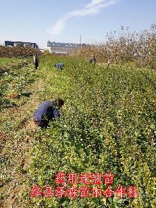 1年连翘苗=地径0.3-0.5公分连翘苗批发价格