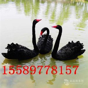 黑天鹅什么地方有卖的大量出售活体黑天鹅