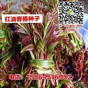 香椿種子 芽苗菜 香樟樹 四季大棚種植矮化