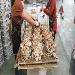 量大量少的茶树菇烘干机使用攻略