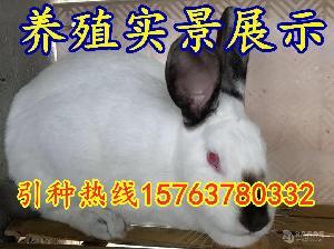 兔子多少钱一只呢种兔价
