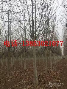 30公分皂角树价格莱芜报价