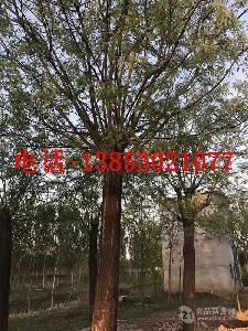 15公分皂角树价格晋城报价